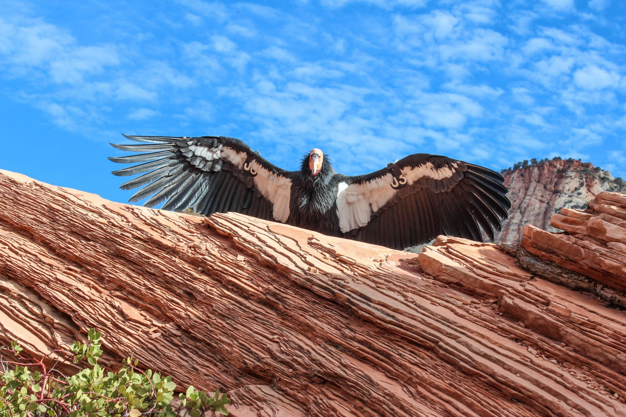 banner-wildlife-condor-wingspan-utah
